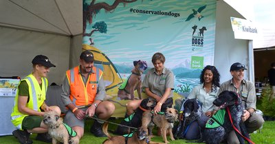 DOC_ConservationDogs_MotutapuIsland